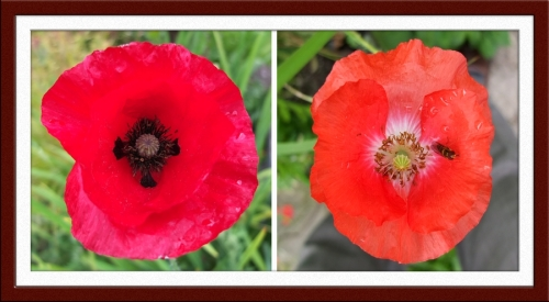 shirley poppies