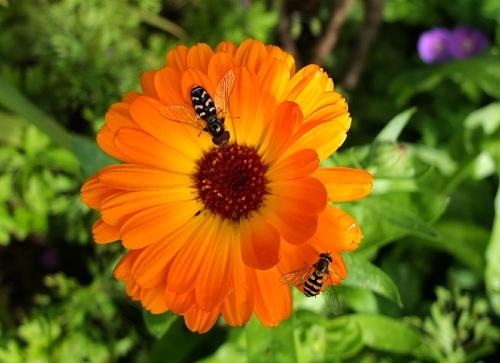 marigold with flies
