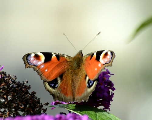 peacock butterlfy