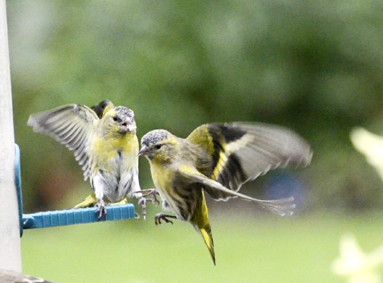 There are more siskins about