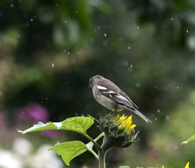 chaffinch in the rain