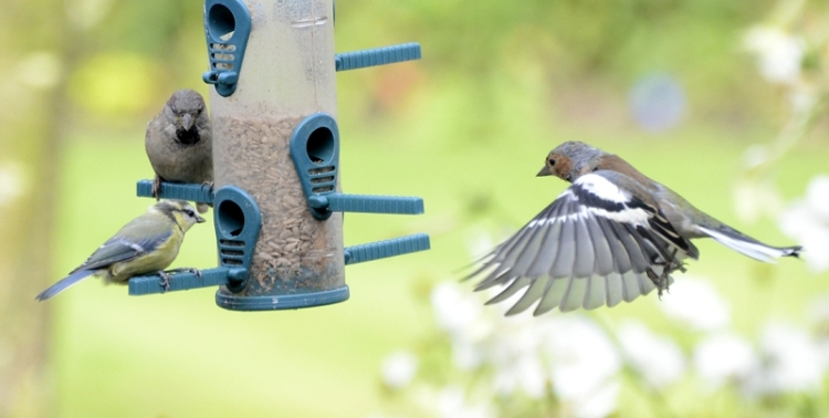 blue tit on the sunflower seed feeder
