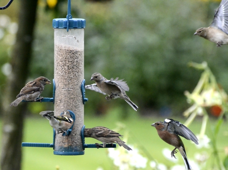 chaffinches and sparrows