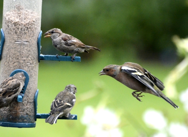 sparrows and chaffinches