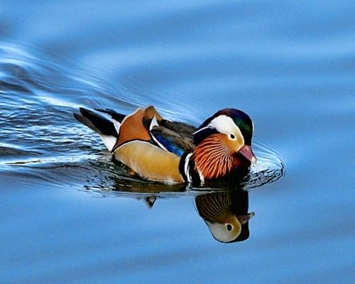 Sommières duck