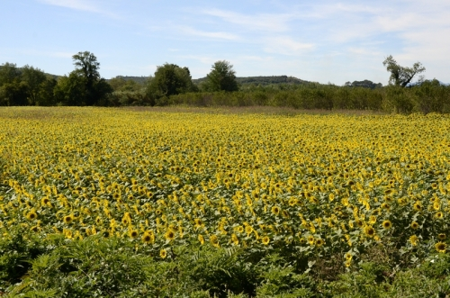 Day four: A field of sunflowers beside the River Gardon