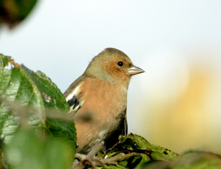 chaffinch perching