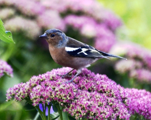 chaffinch on sedum