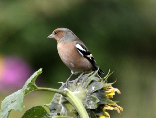 chaffinch om sunflower