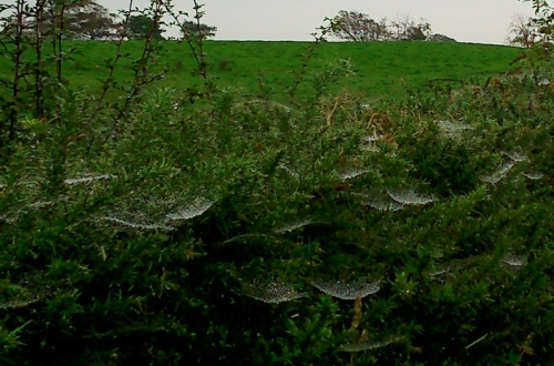 hedge webs
