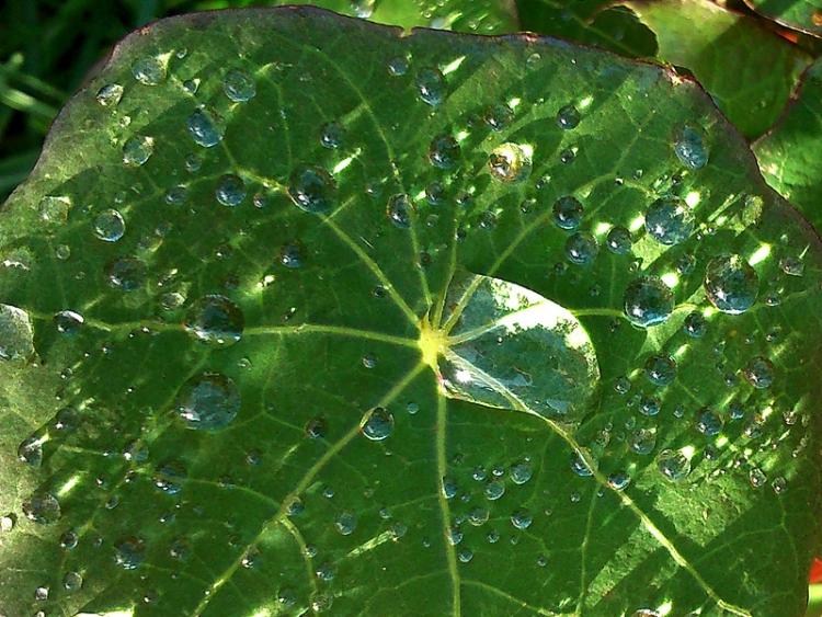 Nasturium leaf