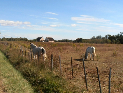 whitte horses of the Camargue