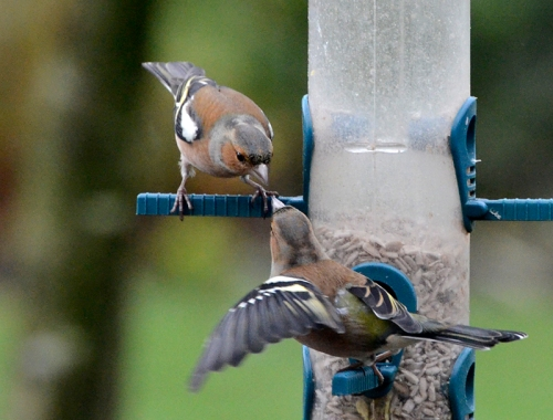 arguing chaffinches