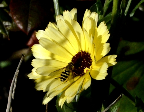 hoverfly on marigold