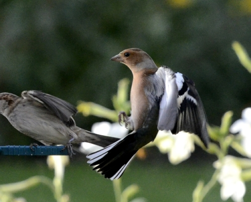 chaffinch recoiling