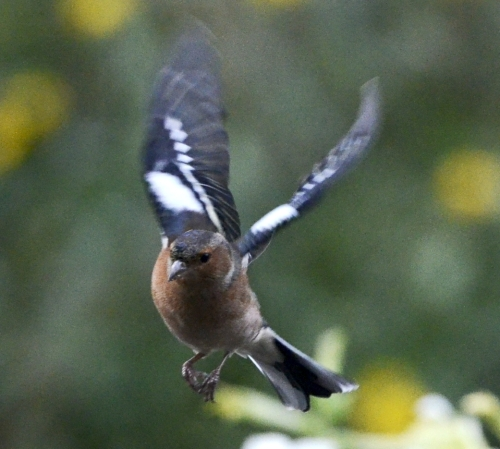 chaffinch approaching the feeder