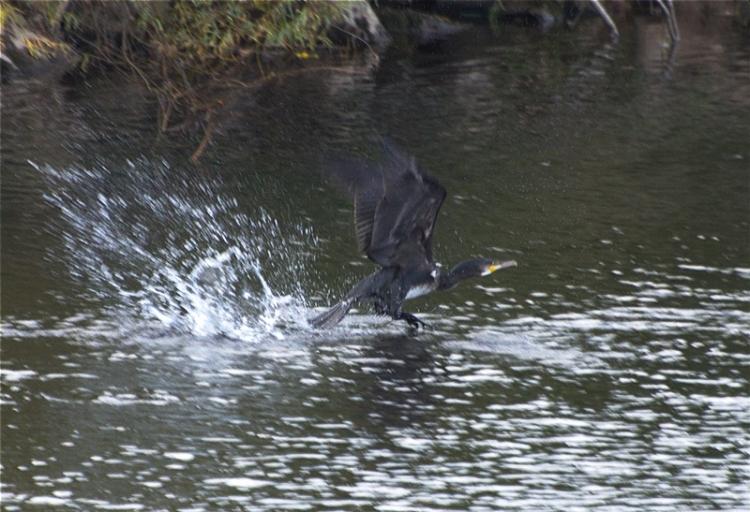 black bird at Longtown