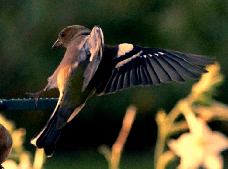 filtered chaffinch