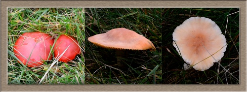 Tarras fungi