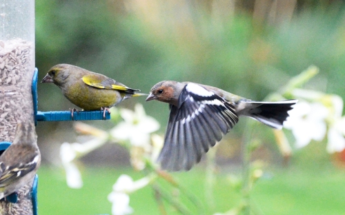 greenfinch and chaffinch