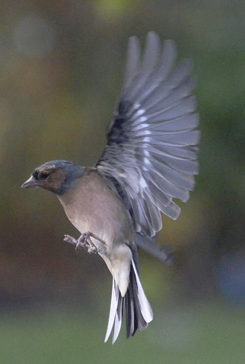 vertical chaffinch