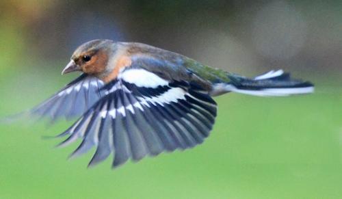 horizintal chaffinch