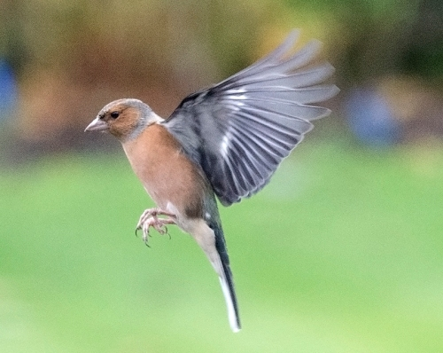flying chaffinch (97)