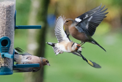 flying chaffinch flying goldfinch