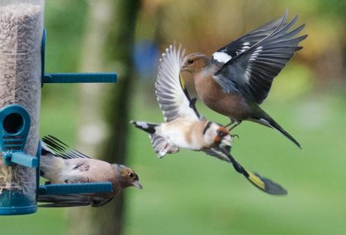 flying chaffinch flying goldfinch