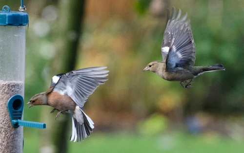 flying chaffinches (7)