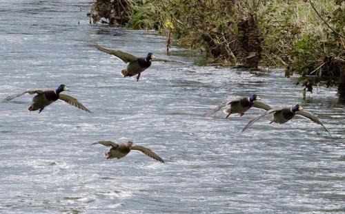 flying ducks incoming (2)