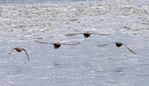flying ducks incoming