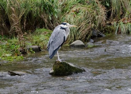 heron (8)