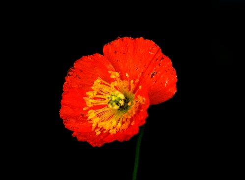 icelandic poppy (4)