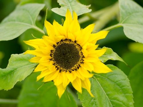 sunflower in october