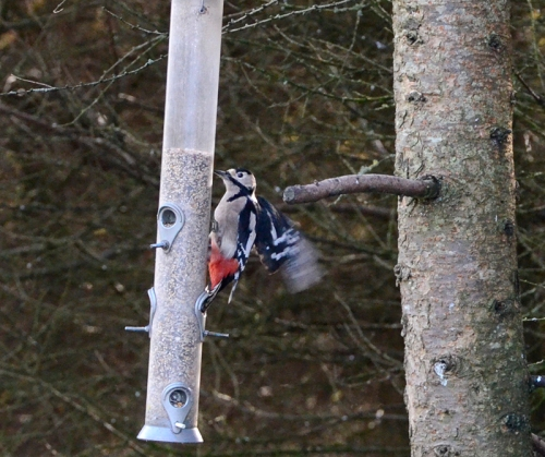 woodpecker (17)