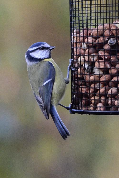 blue tit on peanuts (2)