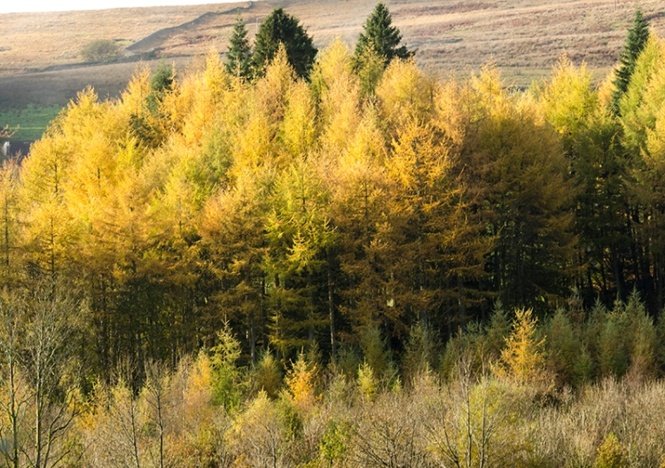 broomholm larches view