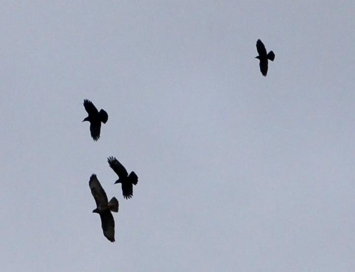 buzzard mobbing