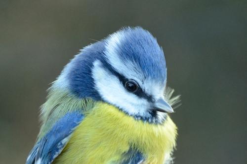 Male blue tit