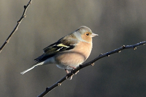 right facing chaffinch