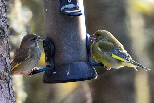 plump goldfinch