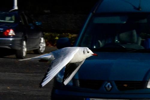 car park gull