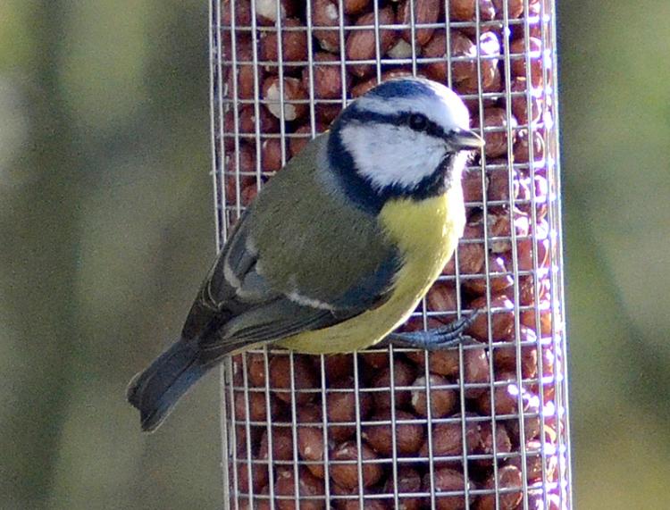 feeder blue tit