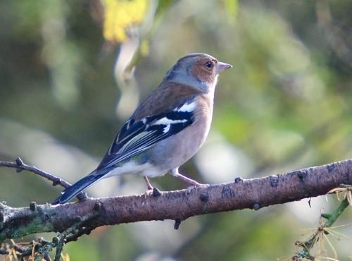 feeder perching chaffinch