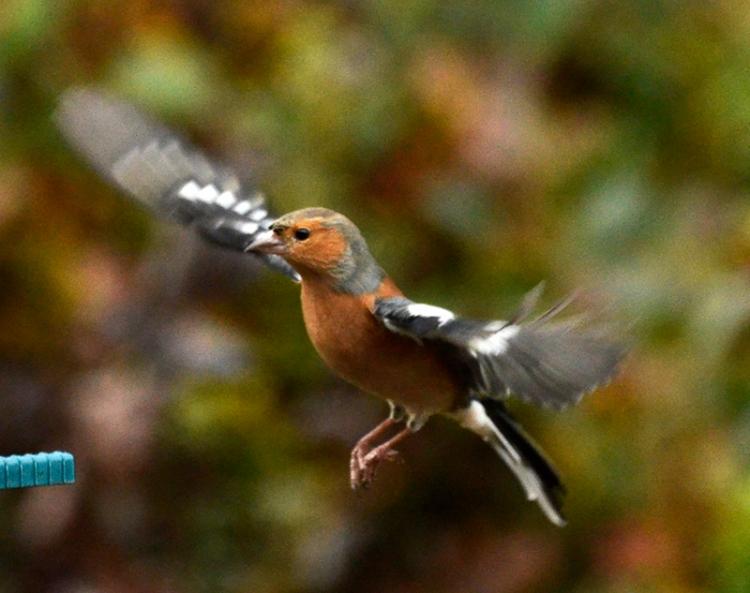 flying chaffinch (116)