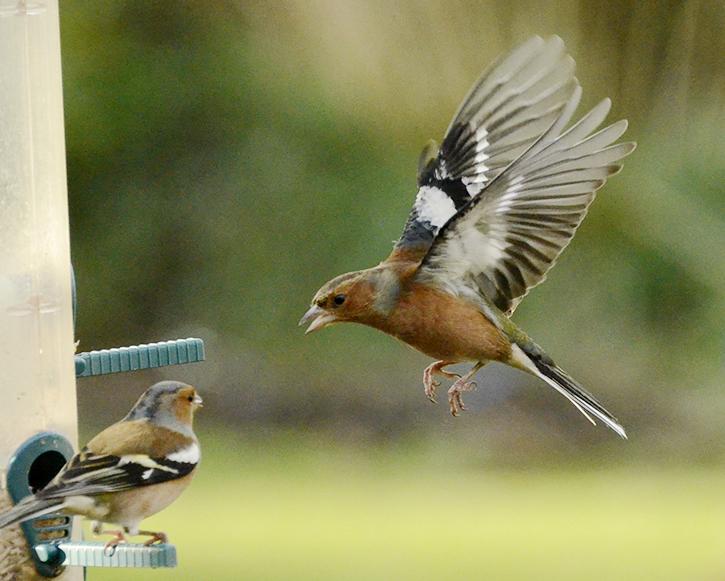 flying chaffinch (117)