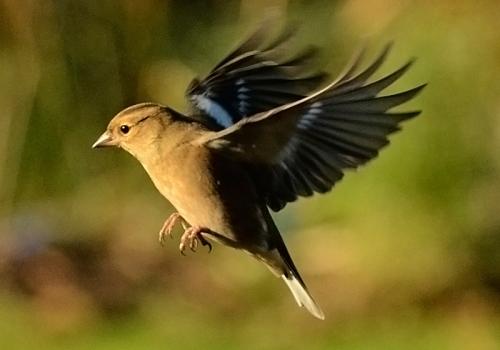 flying chaffinch (118)