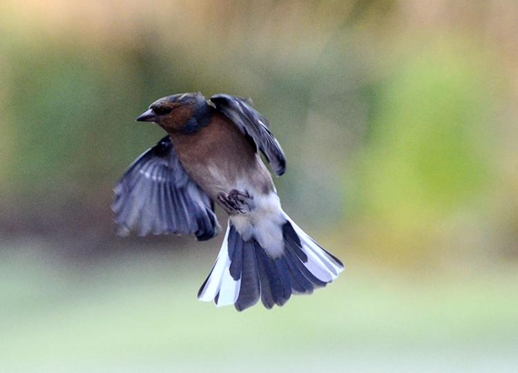 flying chaffinch (129)