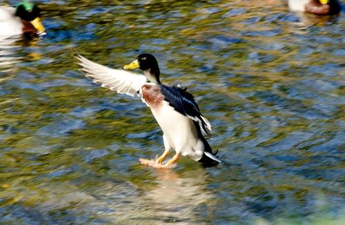 flying duck (2)